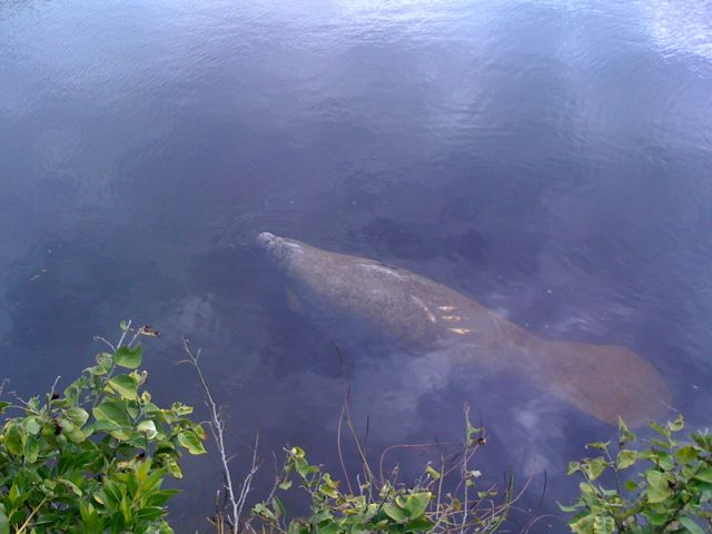 Adult Manatee Swims By, See The Propeller Injury Scars On Its Back